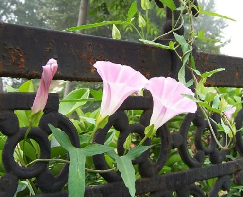 旋花科——打碗花和它的朋友们
