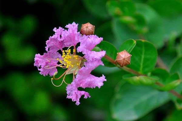 【植物集】紫薇 Lagerstroemia indica L.