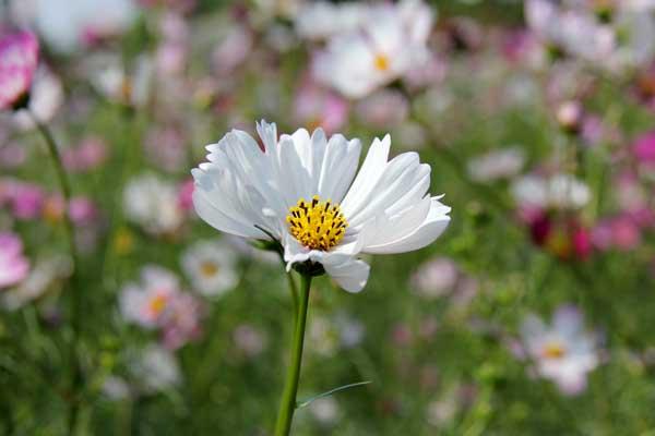 【植物集】波斯菊(Cosmos bipinnata)与格桑花