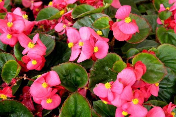 四季海棠的四季养护注意事项与花期调节