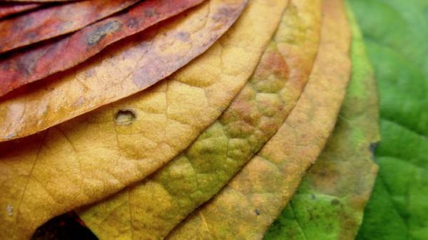 变化的树叶——树叶在秋天变色的原因