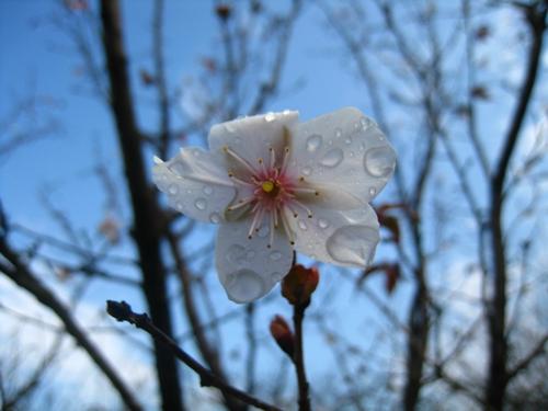 上海植物园部分樱花秋开 新增'奖章'樱