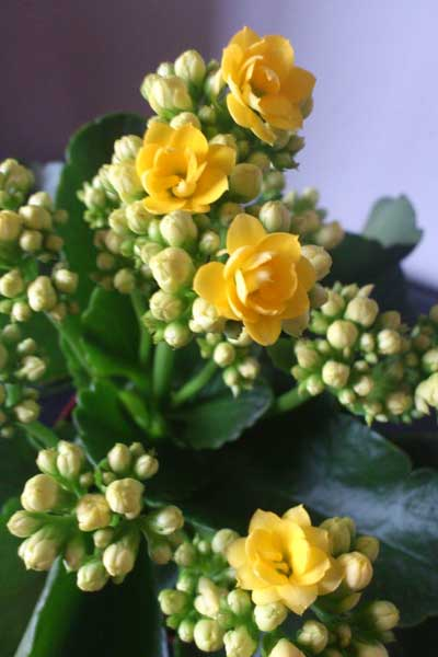高手总结:养好长寿花的宝贵经验与养护秘诀