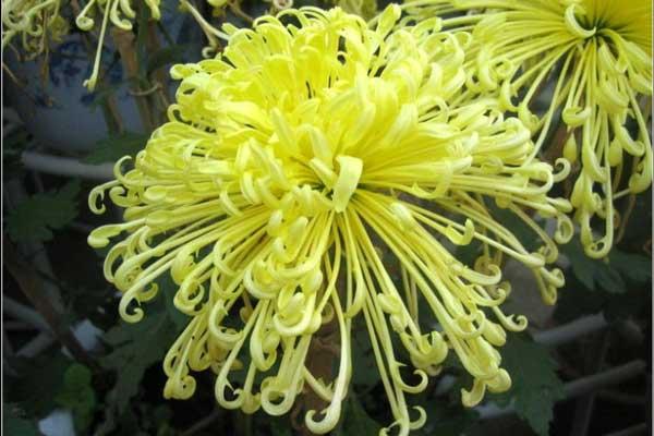 盘点50种名贵菊花品种(附名字)