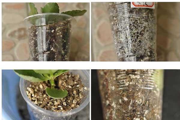 长寿花的扦插水培繁殖方法