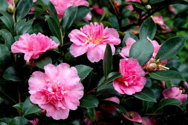 中国传统名花——山茶花的花卉文化