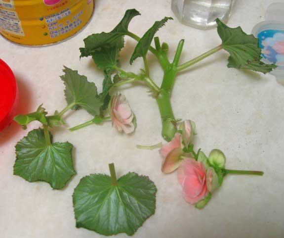 花友分享:丽格海棠的扦插繁殖经验总结