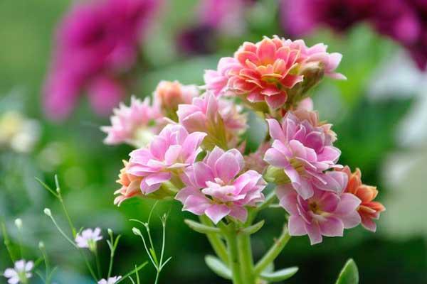 长寿花图谱:各色系长寿花品种鉴别与欣赏(1)