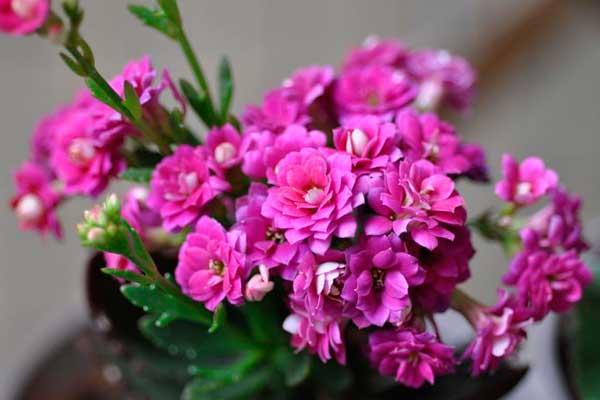 长寿花图谱:各色系长寿花品种鉴别与欣赏(2)