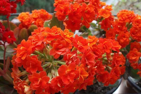 长寿花图谱:各色系长寿花品种鉴别与欣赏(3)