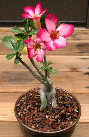 多肉植物沙漠玫瑰的种植与养护方法