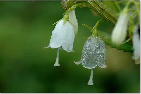雨后花瓣会透明的花