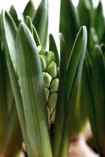 土培风信子的种植成长全过程记录