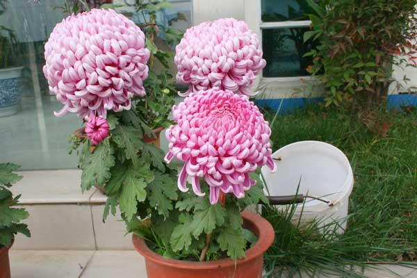 菊花怎么养:菊花的生长习性与养护小锦囊