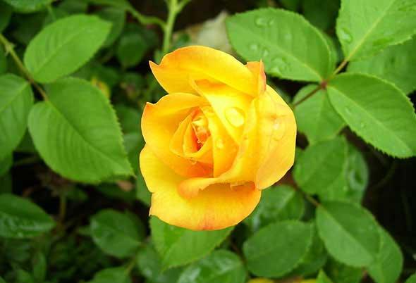 不同颜色月季花品种介绍及月季花图片
