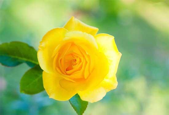 玫瑰花的常见变种与杂交玫瑰种类