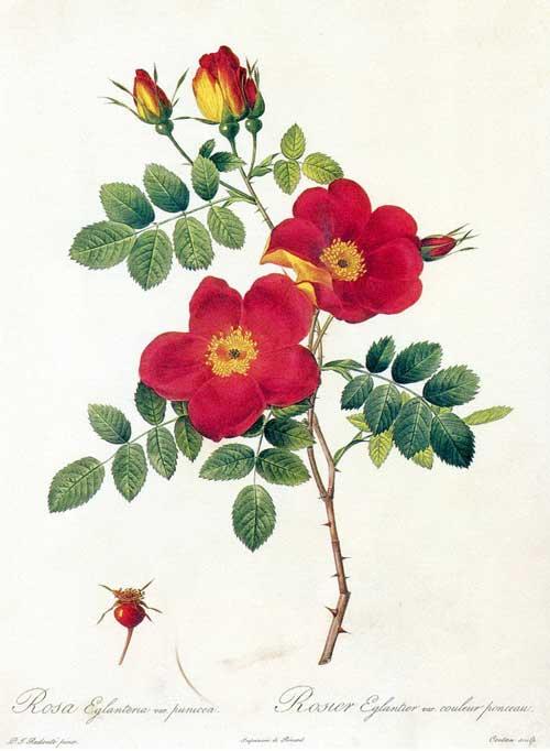 玫瑰圣经——各种花型的玫瑰花图谱