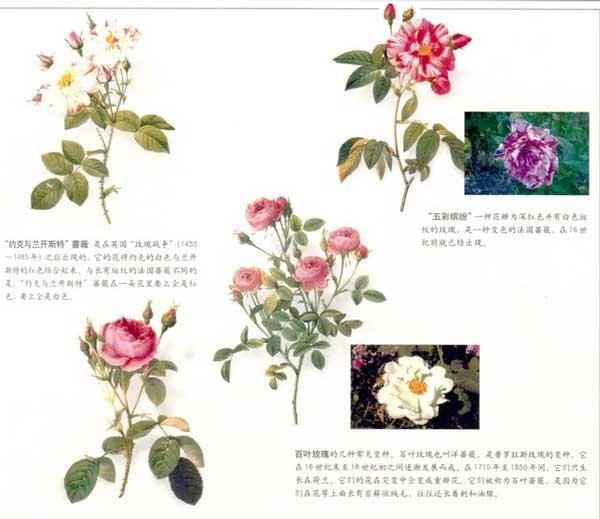 玫瑰圣经——玫瑰的分类和分布