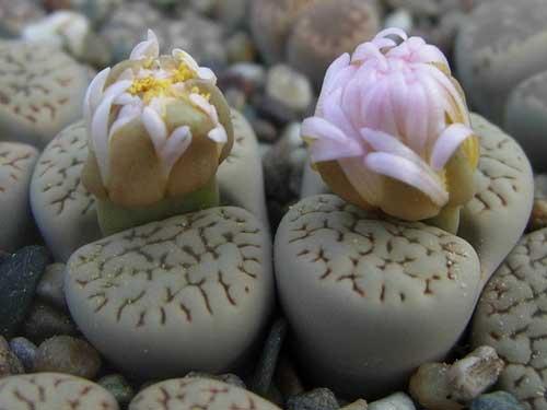 生石花品种介绍:富贵玉系列