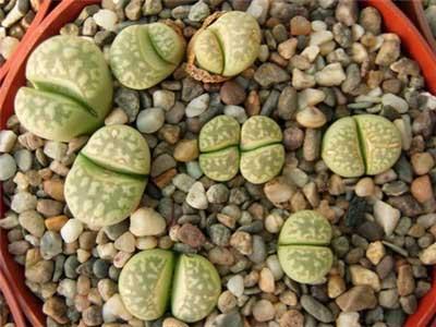 生石花品种介绍:茧形玉系列