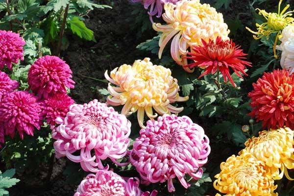 菊花的文化寓意及不同颜色菊花的含义