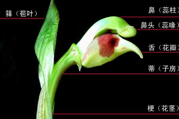 图解兰花肩(副瓣着生的形态)的分类