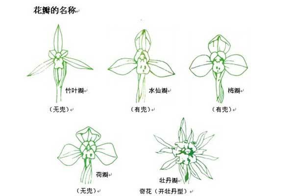 图解兰花肩(副瓣着生形态)的分类与欣赏要点