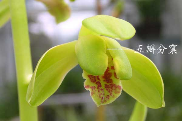 兰花鉴赏:兰花捧瓣的形式分类与特点