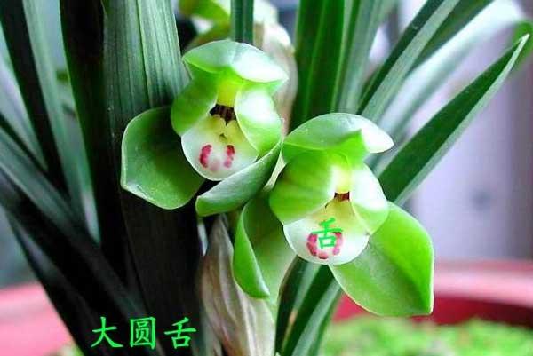 兰花鉴赏:兰花唇瓣(舌)的形式分类与特点