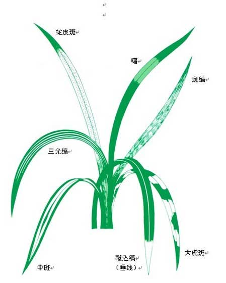 兰花鉴赏:兰花叶型的欣赏