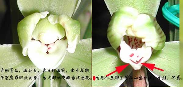 兰花刘海舌与如意舌、大圆舌的区别