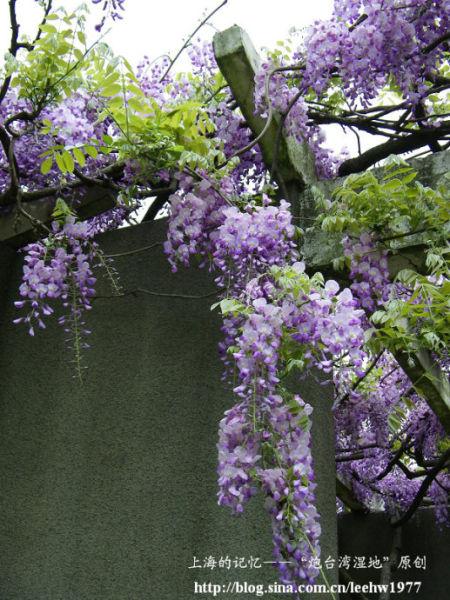 4月紫藤烂漫 上海最美的紫藤花观赏地