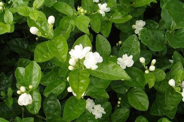 花卉美食味美更养生 茉莉银耳汤