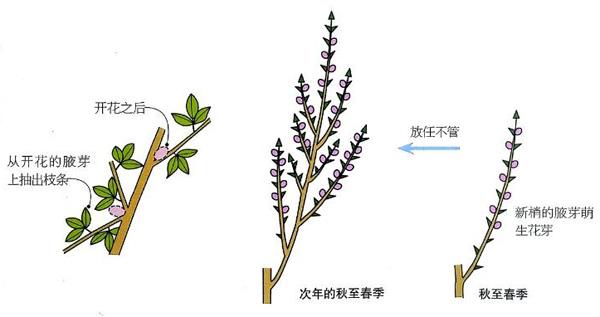 金雀花的栽培方法与修剪方法图解