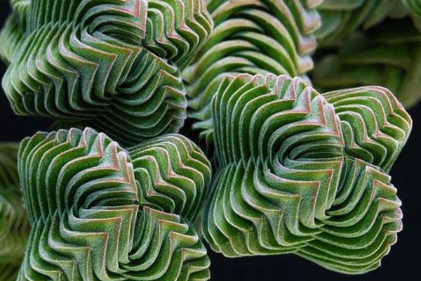 神奇的植物!大自然中奇怪的几何图形植物
