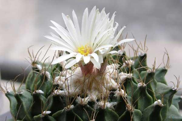 珍稀的仙人掌科植物:帝冠(Obregonia denegrii)