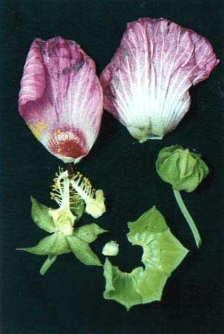 芙蓉花(木芙蓉)的功效和药用价值