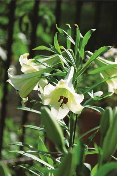 夏日的花园香气 夏日花园植物推荐