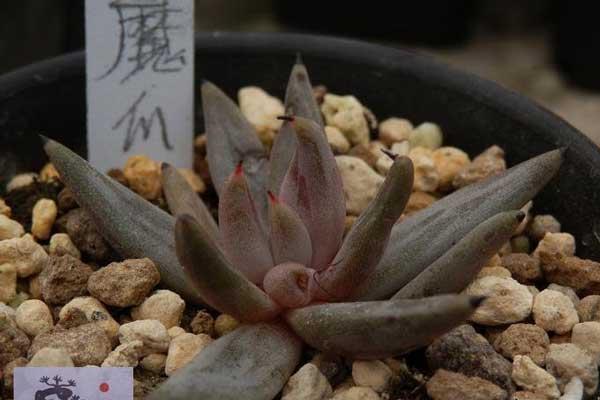 多肉植物红爪、黑爪、绿爪、魔爪的区别