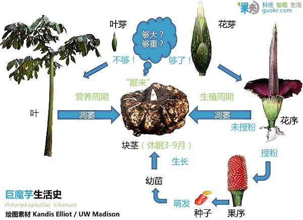 巨魔芋Amorphophallus titanum 为什么稀奇