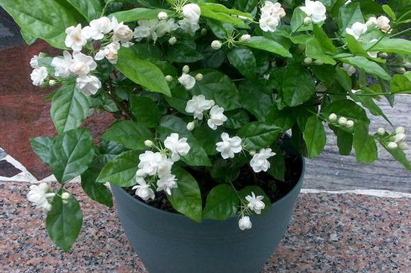 让盆栽茉莉花多开花的几个妙招