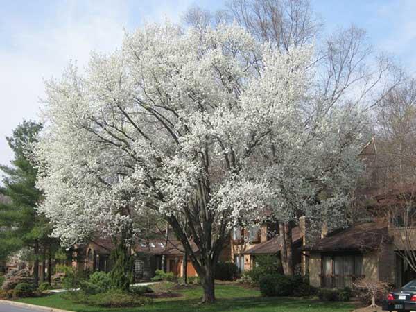 石楠花的气味:杏仁、玫瑰烘托着的精液味?