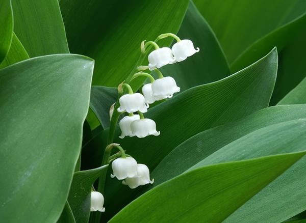 观赏植物中有毒的几个类群 千万不能乱吃