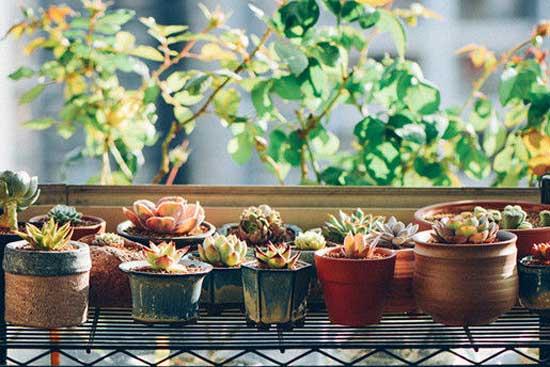 高温湿热季节 多肉植物的种植要领