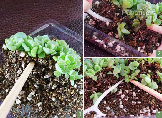 播种容易带苗难 图解多肉植物移苗步骤方法