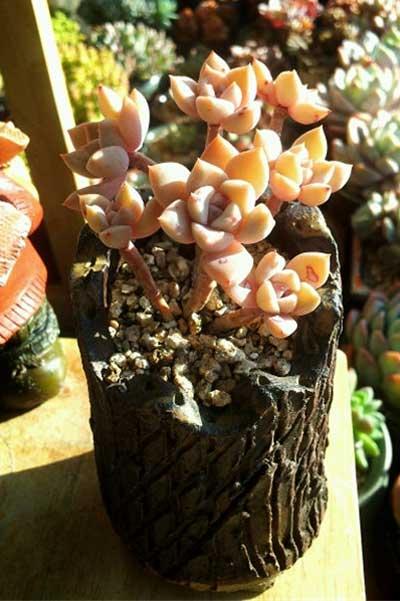 多肉植物红粉佳人的形态特征与养护方法