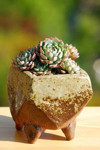多肉植物图鉴:愈小愈美丽的姬莲系多肉植物