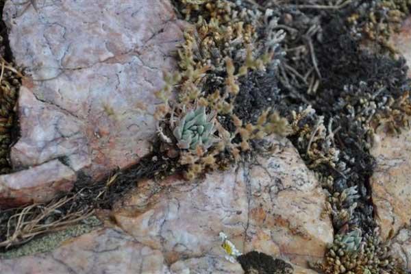 仙女杯属多肉植物:阿布拉牧斯伊 Dudleya abramsii