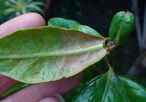 7种茶花常见的病虫害症状及图片