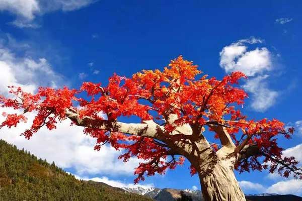 火红的枫叶等着你 国内赏红叶最佳的七处地方